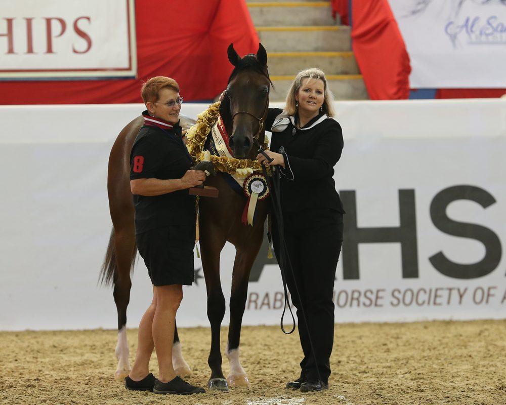 2018 Australian National GOLD Champion Purebred Arabian Yearling Gelding.