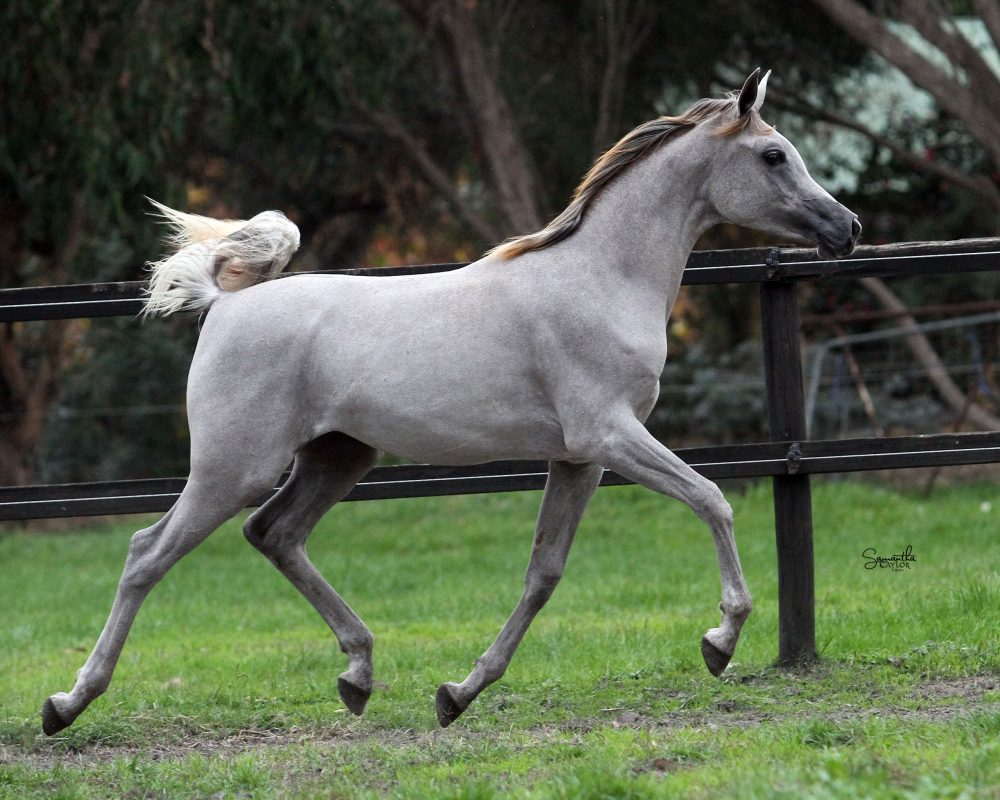 2016 Grey Straight Egyptian Filly.