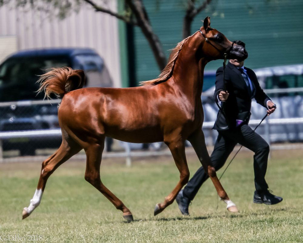Kharacter MI at 2018 NSW State Titles, awarded Champion Junior Colt.